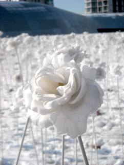 White Rose in Korea